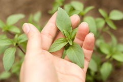 Hand Holding Basil Leaves. Female hand holding fresh basil leaves with herb garden in background stock images