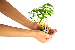 Hand holding bean sprouts tree Royalty Free Stock Images
