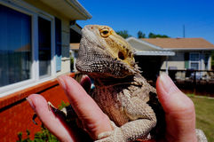 Hand holding bearded dragon. Outside home on sunny day royalty free stock image