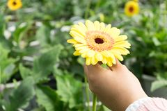 Hand holding the beautiful flower. Hand holding flower with flower farm background. The image contain soft focus, noise and grain Royalty Free Stock Image