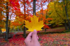 Hand holding the beautiful maple leaf. In the fall season royalty free stock photo