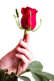 Hand Holding Beautiful Red Rose Stock Images