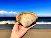 A hand holding a big quahog shell. Near The Cape Cod National Seashore and Race Point Beach in Provincetown Massachusetts United States royalty free stock image