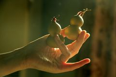 Hand holding bottle gourds Royalty Free Stock Photography