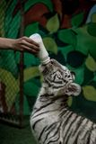 Zookeeper feeding white bengal tiger milk royalty free stock images