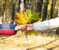 Hand holding a bouquet of bright maple leaves Royalty Free Stock Image