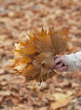 Hand holding bunch of autumnal leaves Royalty Free Stock Photography