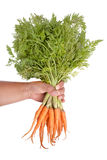 Hand holding a bunch of carrots  on whitebackground Stock Images