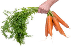 Hand holding a bunch of fresh carrots Royalty Free Stock Photo