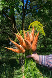 Hand holding bunch of fresh, organic vegetables carrots, onion dill, bundle. Royalty Free Stock Image