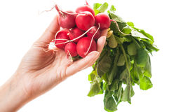 Hand holding a bunch of fresh radishes Royalty Free Stock Image