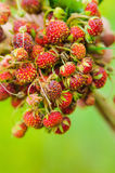 Hand holding bunch of meadow red ripe wild strawberries Royalty Free Stock Images
