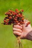 Hand holding bunch of meadow red ripe wild strawberries Stock Photography