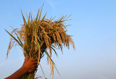 Hand holding a bunch of newly harvested paddy Royalty Free Stock Images