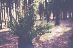 Hand holding bunch of pine tree twigs. Hand holding bunch of pine tree branches, pine wood background Royalty Free Stock Photo