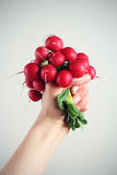 Radish. Hand holding a bunch of radishes. Includes clipping path Royalty Free Stock Image