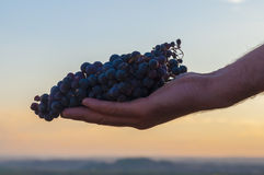 Hand holding a bunch of red grapes. Sunset sky at the background Royalty Free Stock Photos