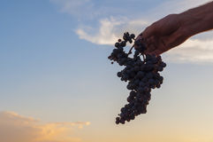 Hand holding a bunch of red grapes. Sunset sky at the background Royalty Free Stock Photography