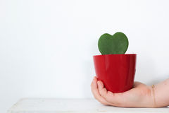 Hand holding Cactus leaf in shape of heart in red pot in Stock Photography