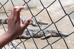 Hand holding cage of alligator pond. Royalty Free Stock Image