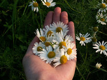 hand holding camomile  Stock Photo