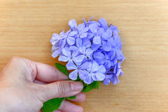 Hand holding cape leadwort Stock Images