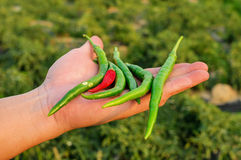 Hand holding Capsicum annuum Royalty Free Stock Photos