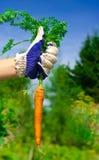 Hand Holding Carrots Stock Photo