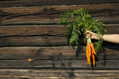 Hand holding carrots Royalty Free Stock Photo