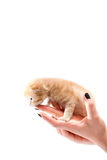 Hand holding a cat. A human hand is holding an orange kitten. Ideal for copy space text stock image