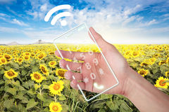 Hand holding cell phone with wi-fi at field sunflower. Royalty Free Stock Photography