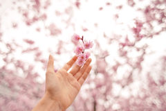 Hand holding cherry blossom Royalty Free Stock Image