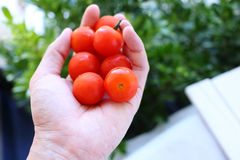 Hand holding cherry tomatoes Royalty Free Stock Image