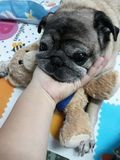 The hand holding the chin  See the face, cute pug dog, pleasing eyes. Hand holding chin see face cute pug dog pleasing eyes royalty free stock photography