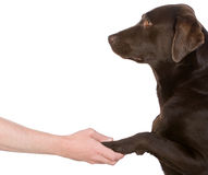 Hand Holding Chocolate Labrador's Paw Royalty Free Stock Photos