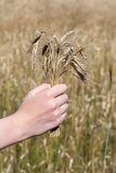 Hand holding corn in front of corn field Royalty Free Stock Photography