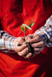 Hand holding a corn plant Stock Images