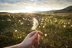 Hand holding a Cotton Grass Royalty Free Stock Image
