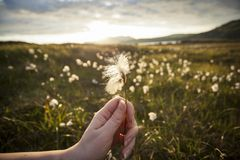 Hand holding a Cotton Grass Stock Image
