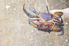 Hand holding a crab. Hand holding a fresh crab Stock Image