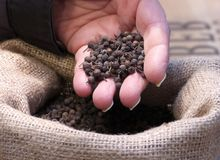 Hand holding Cubeb Berries in sack Stock Photo