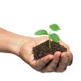 Hand holding cucumber seedling stock image