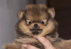 Miniature German Spitz Pomeranian Puppy stock photography