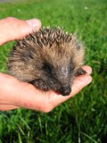 Hand holding a cute hedgehog Royalty Free Stock Photo