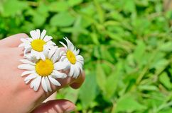 Hand Holding Daisies Royalty Free Stock Photo