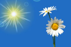 Hand holding a daisy. In front of a blue sky Stock Photos