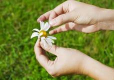 Hand holding daisy. Hands holding daisy in the field Royalty Free Stock Photo