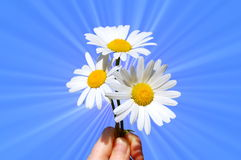 Hand holding a daisy Royalty Free Stock Photography