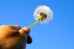 Hand holding dandelion. Hand holding a lone dandelion up to the air Royalty Free Stock Photos
