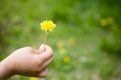 Hand Holding Dandelion Stock Photography